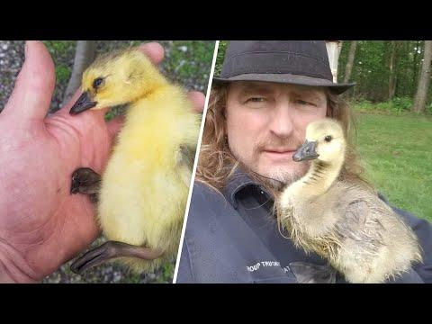 Goose is convinced this man's her mommy #Video