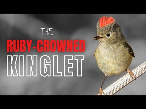 Ruby-crowned Kinglet | Tiny Bird with a Big Song #Video