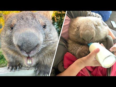 Woman becomes orphaned wombat's mom. He returns the favor with bites. #Video