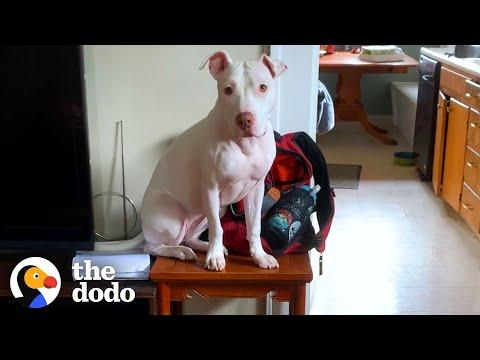 Rescue Pittie Shows Her Foster Sister How To Get Up On The Table Video