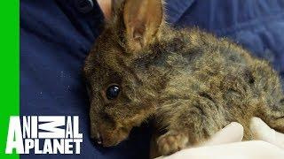 Carefully Cleaning Up A Nasty Wound On The Cutest Baby Wallaby | Vet Gone Wild