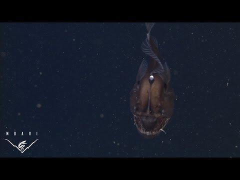 Deep-Sea Anglerfish Caught On Camera
