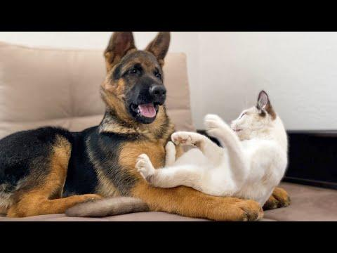 German Shepherd Puppy vs. Kitten Video [TRY NOT TO LAUGH]