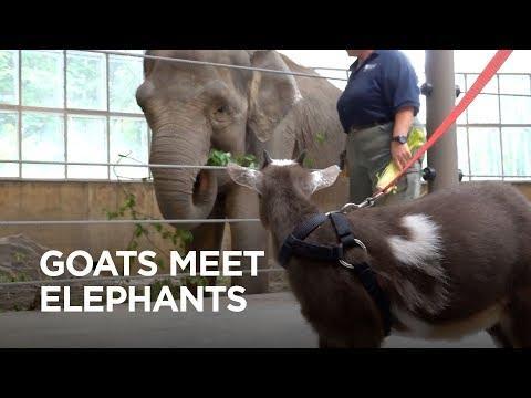 Tiny Goats Visit Elephants video