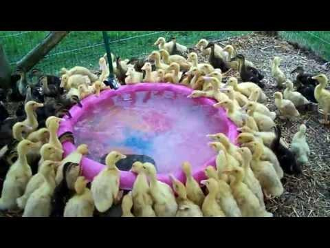 171 Ducklings Swimming In Their New Pool For The 1st Time