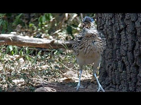 Roadrunner at the water bowl: Possessed by an alien? #Video