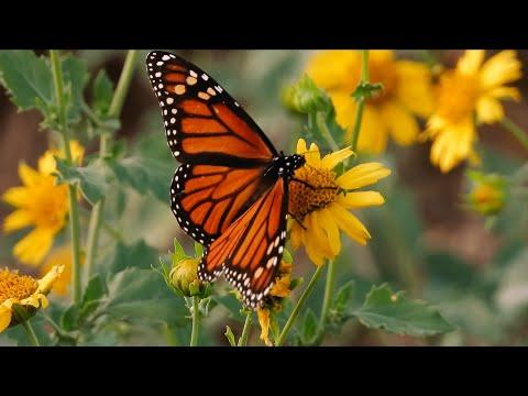 Monarch Butterflies (Texas Country Reporter)