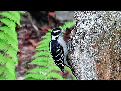 Downy Woodpecker Foraging