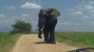 MONSTER ELEPHANT ENCOUNTER!