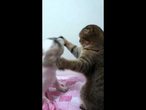 Cat Vs Hyper Shih Tzu