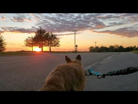 Finnegan Fox the Red Fox takes Sunday sunset walks #Video