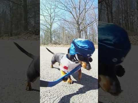 Dachshund Ball Hockey Fun! #Shorts #Video