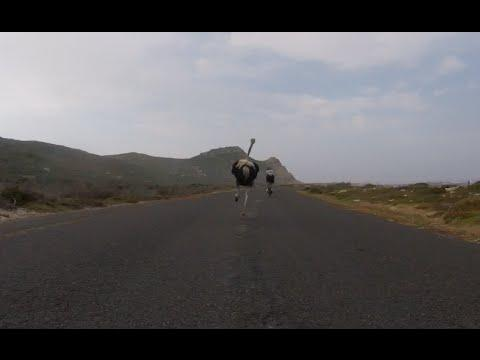 Cyclists chased by an ostrich video. The funniest thing you'll see today