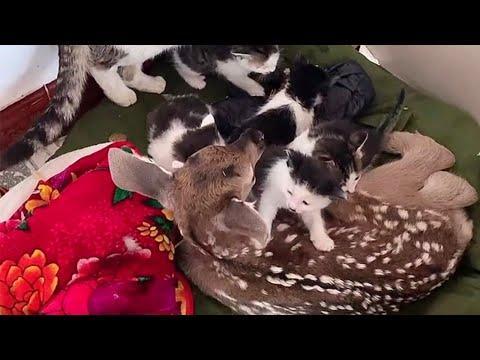 Adorable Baby Deer Meets Kittens #Video