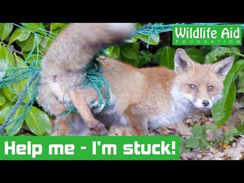 Fox gets hopelessly tangled in garden netting! - Animal Rescue Video