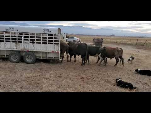 This Is How One Cattle Rancher Loads Bucking Bulls. #Video