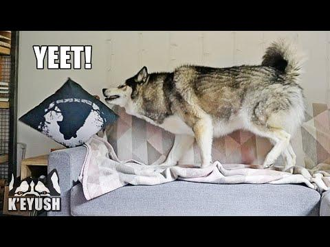 Caught My Husky Being BAD! Throwing Pillows Off Couch! Hidden Camera! #Video