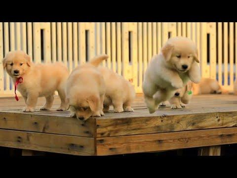 This Golden Puppies Video Will Instantly Warm Your Heart