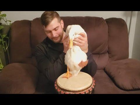 Duck That Can Play The Drums. Your Daily Dose Of Internet.