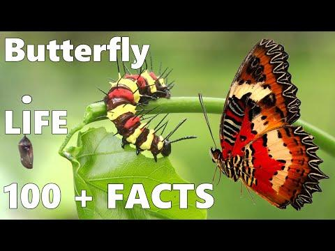 Butterfly Life Cycle - 100+ Amazing Facts About Butterflies