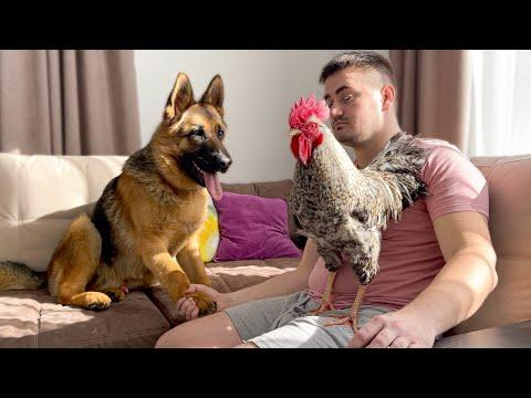 German Shepherd Meets a Rooster for the First Time Video