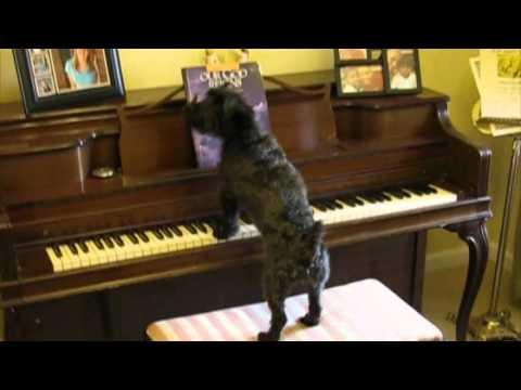 Dog Plays Piano And Sings On Command