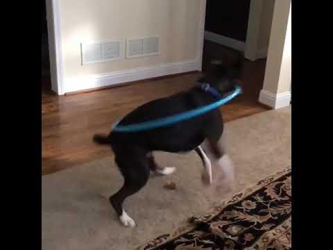 Dog Tried Really Hard To Hula Hoop