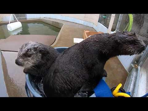 Sea otters playing in a bucket of water