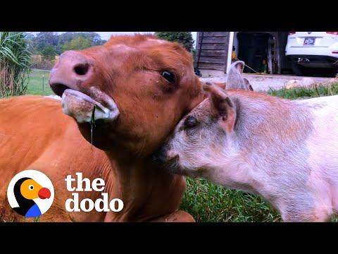 Baby Cow Adopts A Tiny Orphaned Piglet #Video