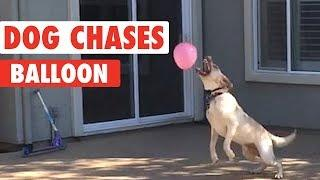 Funny Dog Tries To Catch Balloon
