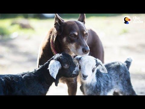 Dog Helps Her Mom Take Care Of All The Animals At Their Sanctuary - RUBY
