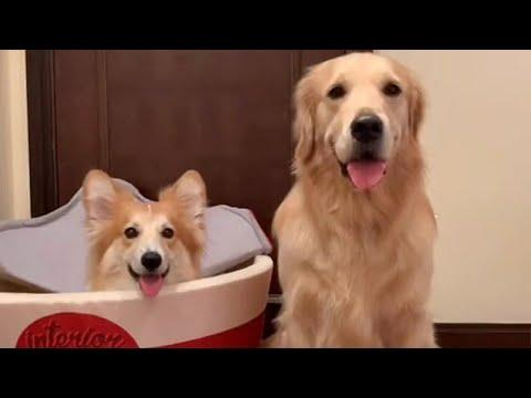 Golden Retriever and Corgi Are Playful Best Friends Video.
