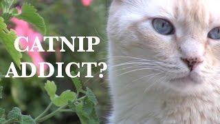 Is Your Cat A Catnip Addict?