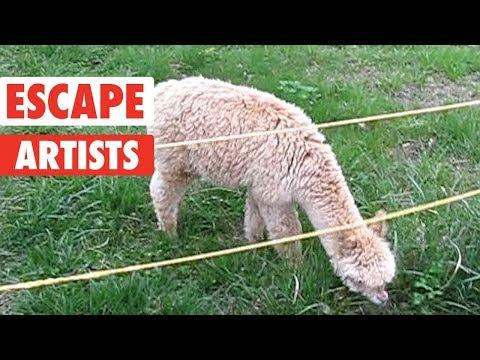 Pet Escape Artists | Funny Pet Video Compilation Video