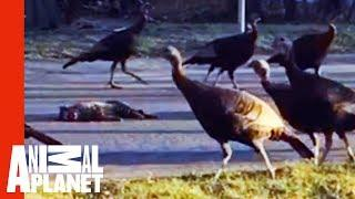 Why Is This Strange Flock Of Turkeys Marching Around A Dead Cat?! | Weird, True & Freaky