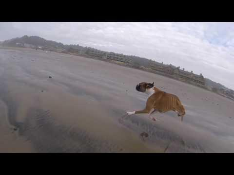 Two Legged Boxer Dog Duncan Lou Who Goes To The Beach