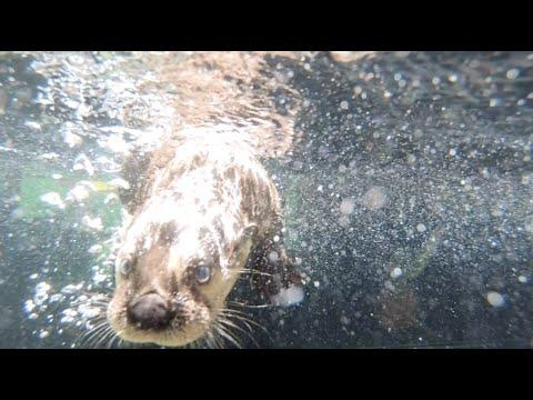 Rescued river otter pups play in the pool