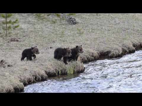 Grizzly cubs screaming at mom #Video