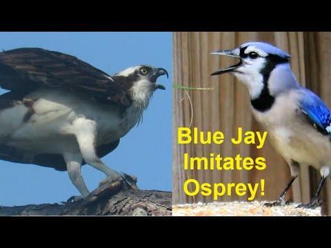 Blue Jay Mimics Osprey Whistle Calls
