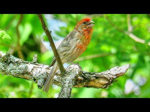 House Finch Call Video