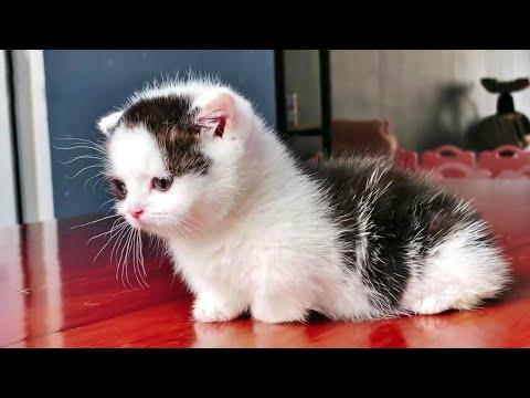 Little Panda Munchkin Kitty Video