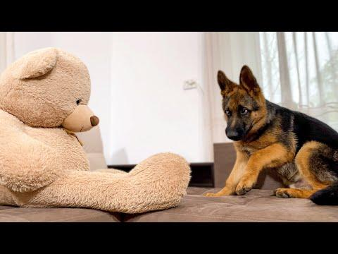 German Shepherd Puppy Pranked By Giant Teddy Bear! Video.