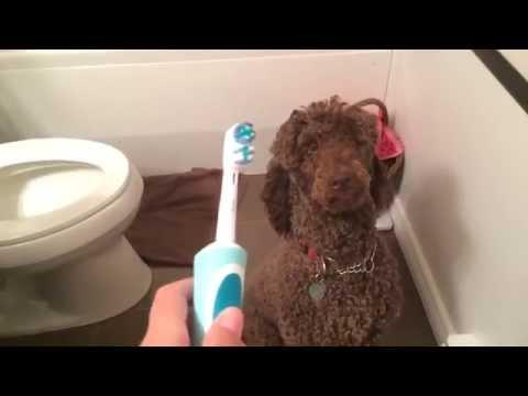 Poodle Gets Excited Over Electric Toothbrush