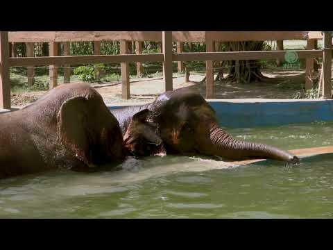 Kabu has a great moment with the Broken leg baby elephant Cha Na