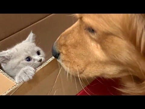 Lonely Golden Retriever Gets a Cute Kitten Friend Video
