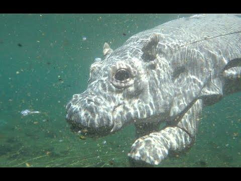 Robotic Spy Hippo Up Close With One of Africa's Most Dangerous Animals! #video