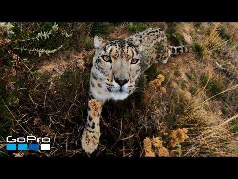 GoPro: Snow Leopard Meets MAX