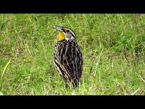 Eastern Meadowlark  Calling and Singing