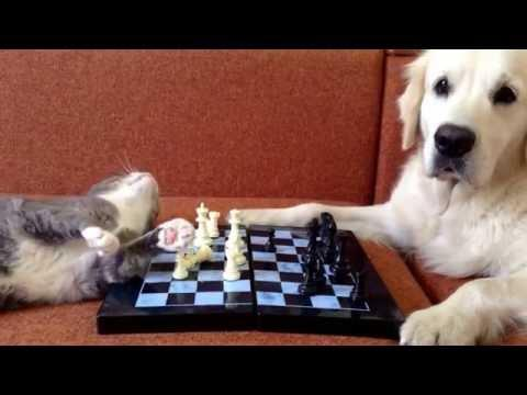 Cat And Dog Get Bored Playing Chess