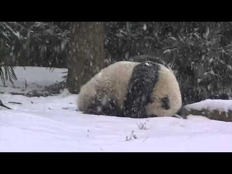 Bao Bao's First Snow Day! ( No Sound )